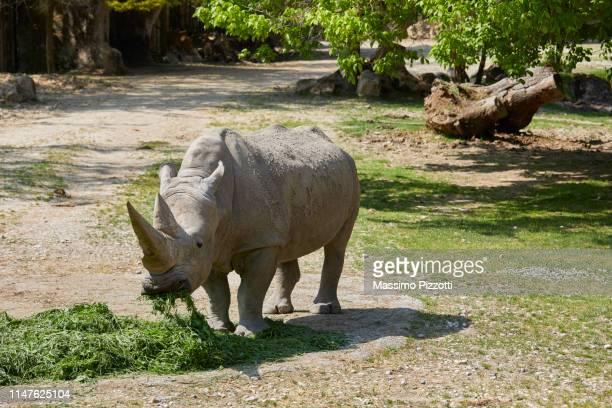the white rhinoceros eating grass in a zoo - massimo pizzotti foto e immagini stock