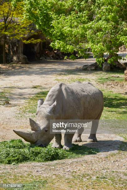 The white rhinoceros eating grass in a Zoo