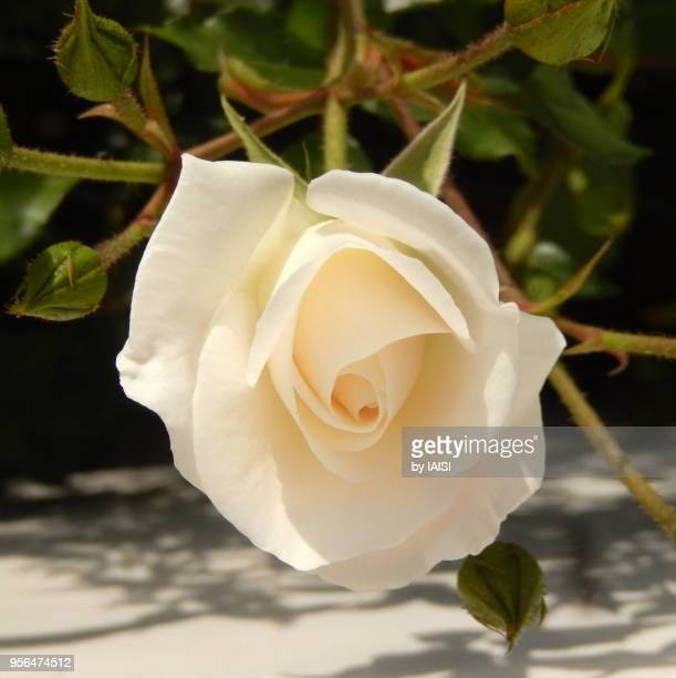 the white rose in blossom, seen from above - sharon plain stock pictures, royalty-free photos & images