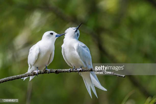the white tern (gygis alba) is a small seabird found across the tropical oceans of the world. papahānaumokuākea marine national monument, midway island, midway atoll, hawaiian islands. a courting pair. grooming. - midway atoll stock pictures, royalty-free photos & images
