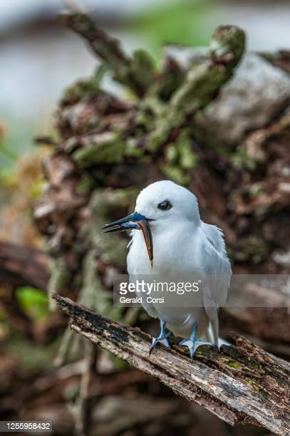the white tern (gygis alba) is a small seabird found across the tropical oceans of the world.  other names for the species include angel tern and white noddy. papahānaumokuākea marine national monument, midway island, midway atoll, hawaiian islands. with - midway atoll stock pictures, royalty-free photos & images