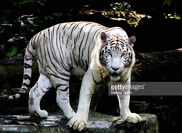 the white tiger - white tiger stock photos and pictures