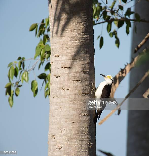 the white woodpecker, melanerpes candidus. - alex saberi stockfoto's en -beelden