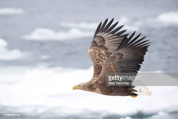 the white-tailed eagle (haliaeetus albicilla) is a very large species of sea eagle widely distributed across temperate eurasia. found in real nature at rausu town in hokkaido japan. - eurasia stock pictures, royalty-free photos & images