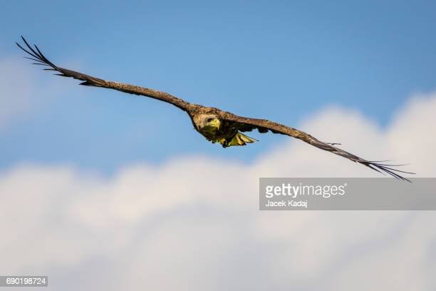 The white-tailed eagle
