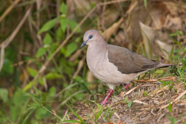 the white tipped dove leptotila verreauxi in andes pictures