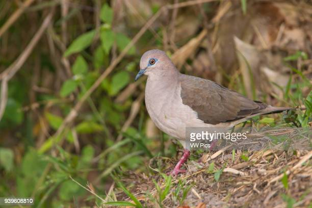 The whitetipped dove in Andes Tolima Colombia