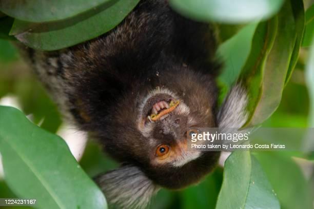 the white-tufted marmoset - leonardo costa farias stock pictures, royalty-free photos & images