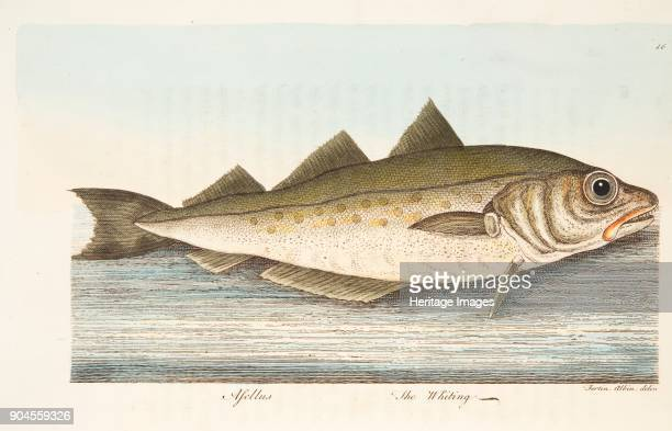 The Whiting from A Treatise on Fish and Fishponds pub 1832
