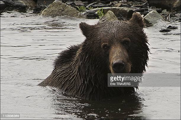 The wild animals featured in The Last trapper a film by Nicolas Vanier A young grizzly gambols in the water at Groose Mountain in the province of...