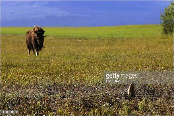 The wild animals featured in 'The Last trapper' a film by Nicolas Vanier Musk ox with prairie dog This shaggy wild relative of the sheep and goat...