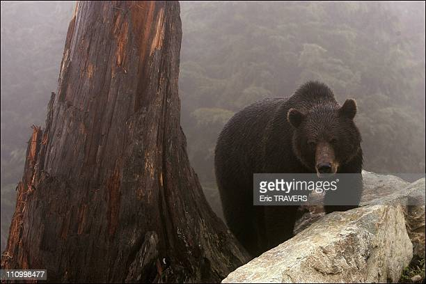 The wild animals featured in The Last trapper a film by Nicolas Vanier Groose Mountain grizzly bear in British Columbia Its sheer size and weight is...