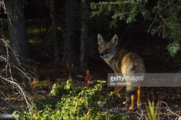 The wild animals featured in The Last trapper a film by Nicolas Vanier The coyote is one of the seven members of the dog family in Canada The others...