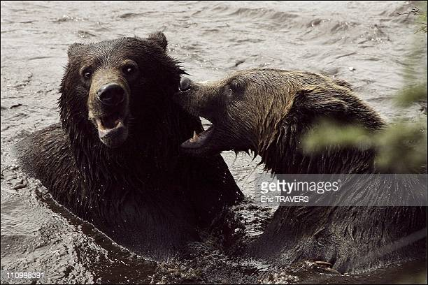 The wild animals featured in The Last trapper a film by Nicolas Vanier Two young grizzlies gambol in the water at Groose Mountain in the province of...