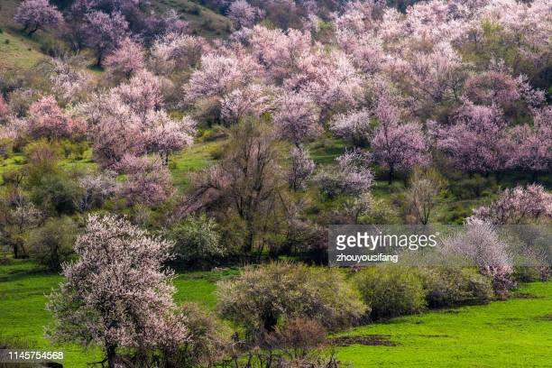 the wild apricot flower in xinjiang - apricot tree stock pictures, royalty-free photos & images