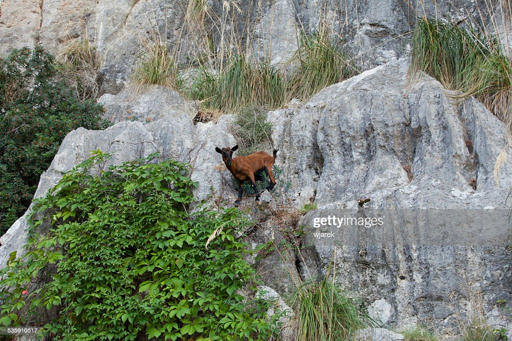 the wild Mallorcan goat : Stock Photo