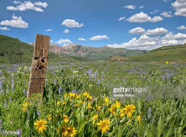 CONTENT] The wildflowers were found along a fence line in Washington Gulch near Crested Butte Colorado This area is known as the Wildflower Capital...