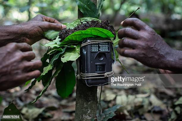 The Wildlife Conservation Society field team reset a camera trap near their trap to catch red river hogs, using the feces of forest elephants to mask...