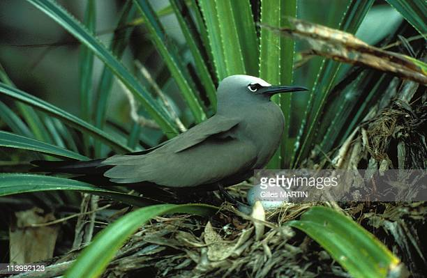 The wildlife on Aldabra island In Seychelles In September, 1992-Noddi bird hatching its egg.