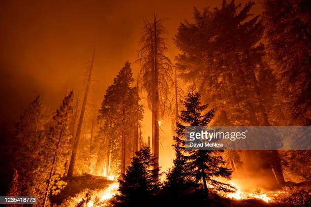 The Windy Fire blazes through the Long Meadow Grove of giant sequoia trees near The Trail of 100 Giants overnight in Sequoia National Forest on...
