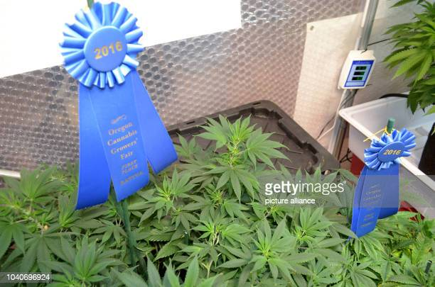 The winning marijuana plants Super Sour Diesel and Granddaddy Purple at the agricultural show the Oregon State Fair 26 August 2016 in Oregon United...