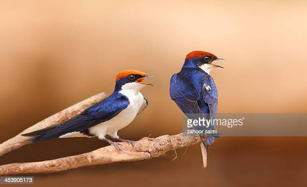 the wire-tailed swallow - perching stock pictures, royalty-free photos & images