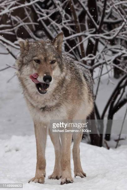 the wolf (female wolf) is deliciously licked, a beautiful animal - big bad wolf photos et images de collection