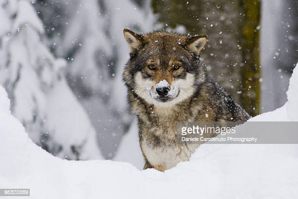 the wolf - daniele carotenuto stock-fotos und bilder