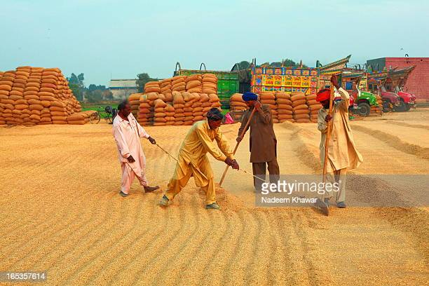 CONTENT] The workers collecting dried crop of rice at evening at a farm of Punjab Pakistan