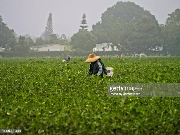 the working poor picking okra on a misty sunday morning. - migrant worker stock photos and pictures