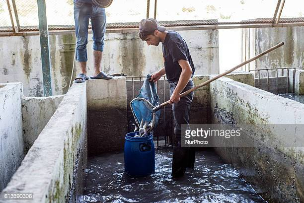 The working process at the trout fish farm near Anig Qusar district Azerbaijan on 6 October 2016 It is the first fish farm opened in Azerbaijan in...