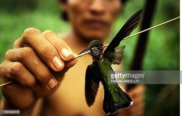 The world of Jivaro Indians in Ecuador in 1994 Hummingbird pierced by the arrow of the blowgun Rio Conambo Achuar ethnic group Ecuadorian Amazon