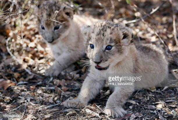 The world's first lion cubs born through artificial insemination, Victor and Isabel, rest under a tree at the Ukutula private game conservation...