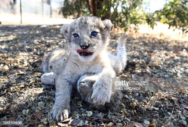 The world's first lion cubs born through artificial insemination Victor and Isabel play under a tree at the Ukutula private game conservation centre...