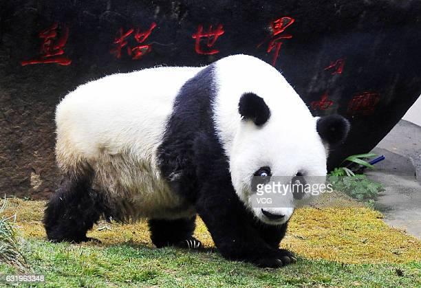 The world's oldest giant panda 'Basi' attends its 37th birthday celebration at Strait Panda World on January 18 2017 in Fuzhou Fujian Province of...