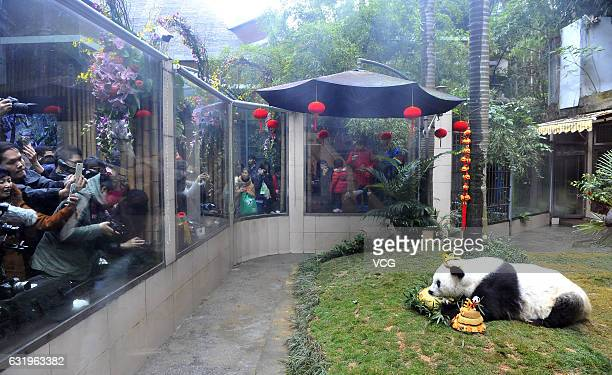 The world's oldest giant panda 'Basi' in captivity eats speciallymade cake during its 37th birthday at Strait Panda World on January 18 2017 in...