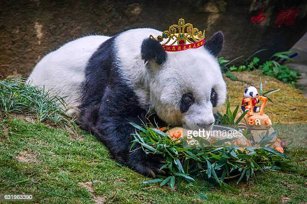The world's oldest giant panda Basi in captivity eats speciallymade cake during its 37th birthday at Strait Panda World on January 18 2017 in Fuzhou...