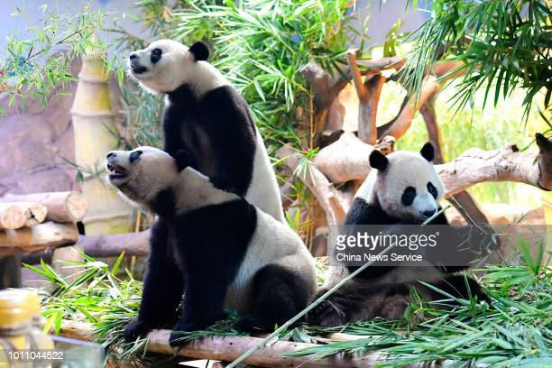 The world's only giant panda triplets Mengmeng Shuaishuai and Kuku eat bamboos to celebrate their fourth birthday at Chimelong Safari Park on July 29...