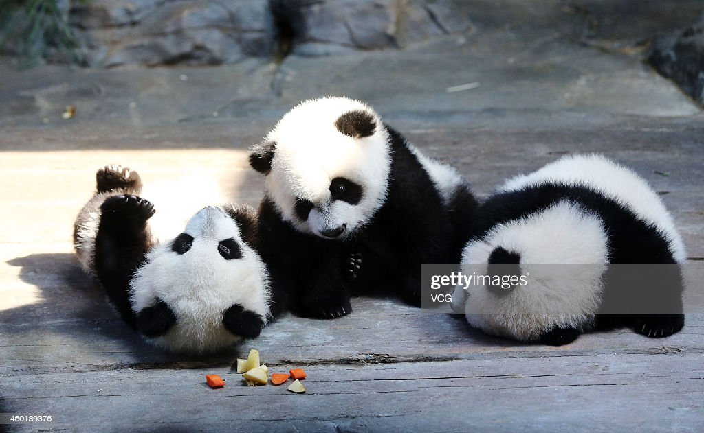 The world's only live panda triplets play together at Chimelong Safari Park on December 9, 2014 in Foshan, China. The world's only live giant panda triplets (two boys and one girl) started living together with their mother, giant panda Juxiao, after taking turns living with her since their birth at the Chimelong Safari Park on Tuesday. The triplets were born on July 29 and after over 100 days they now all weigh over 8 kg and are doing well. They will stay with their mother and meet with visitors at 13:00 - 15:00 and 16:00 - 18:00 from Tuesday.