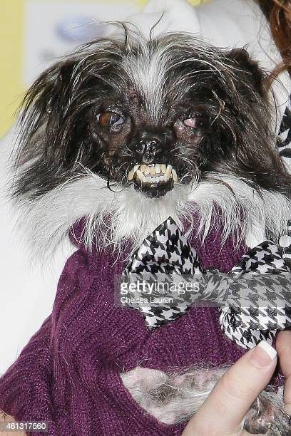 The World's Ugliest Dog Peanut arrives at The World Dog Awards at Barker Hangar on January 10 2015 in Santa Monica California