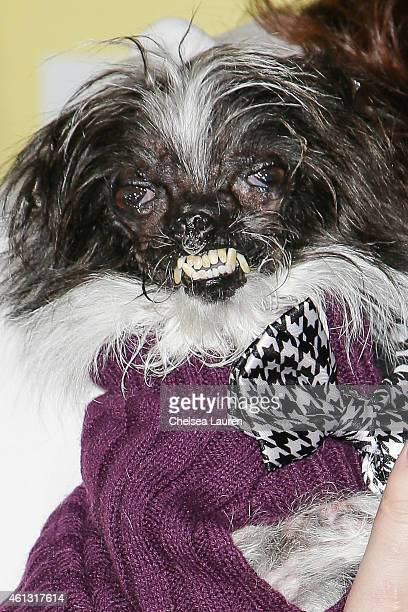 The World's Ugliest Dog Peanut arrives at The World Dog Awards at Barker Hangar on January 10 2015 in Santa Monica California