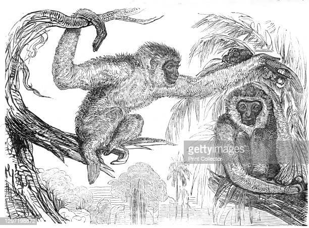 """The """"Wou-wou"""", or silvery gibbons, 1845. 'The """"Wou-Wou"""" or """"Moloch,""""...is a native of Malacca. It derives its specific name from its peculiar cry,..."""