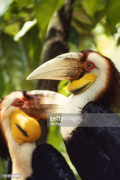 The Wreathed Hornbill, Rhyticeros undulatus, also called the Bar-pouched Wreathed Hornbill is native to south and southeast Asia..