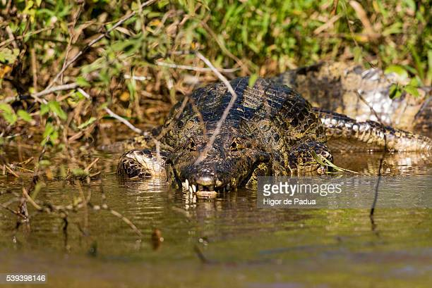the yacare caiman lurking in the river, waiting to hunt their prey - cuiabá stock photos and pictures