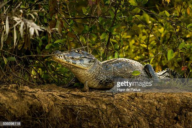 the yacare caiman on the edge of the riverbank - animal selvagem stock pictures, royalty-free photos & images