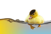http://www.istockphoto.com/photo/the-yellow-cute-duckling-swimming-on-water-wave-isolated-on-white-background-gm907460662-250003492