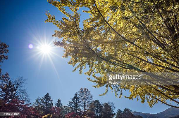 the yellow ginkgo tree and the sun, namiseom island, chuncheon, gangwon, korea - vsojoy stock pictures, royalty-free photos & images