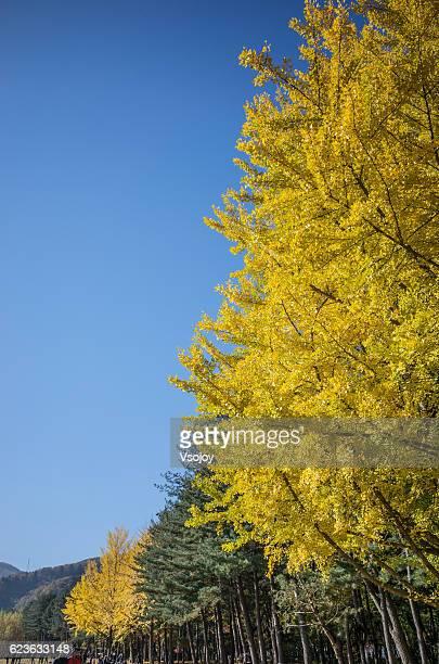 the yellow ginkgo tree in namiseom island, chuncheon, gangwon, korea - vsojoy stockfoto's en -beelden
