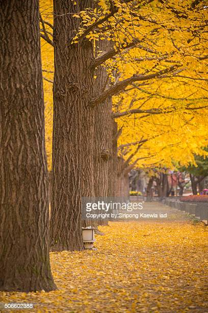 The yellow ginkgo trees in a row at Namiseom (Nami Island)