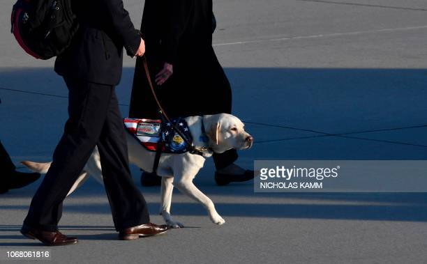 TOPSHOT The yellow Labrador retriever Sully the late former US president's faithful service dog walks on the tarmac after the flagdraped casket of...